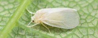 Как избавиться от белокрылки на комнатных растениях