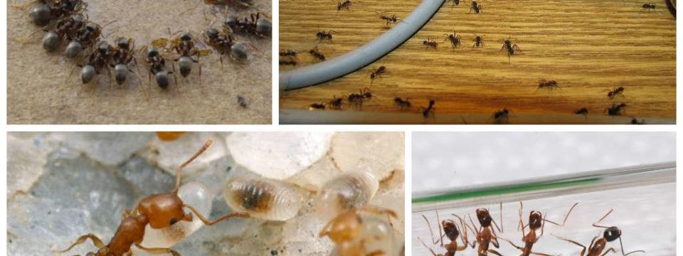 Как самостоятельно избавиться от муравьев в доме навсегда