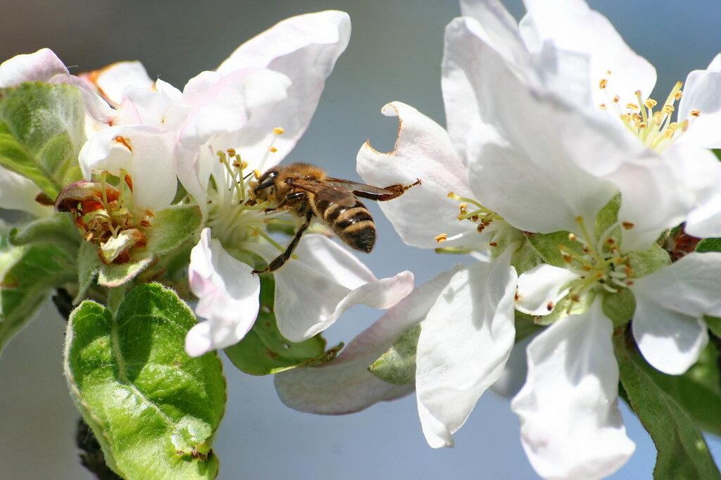 опыление яблони