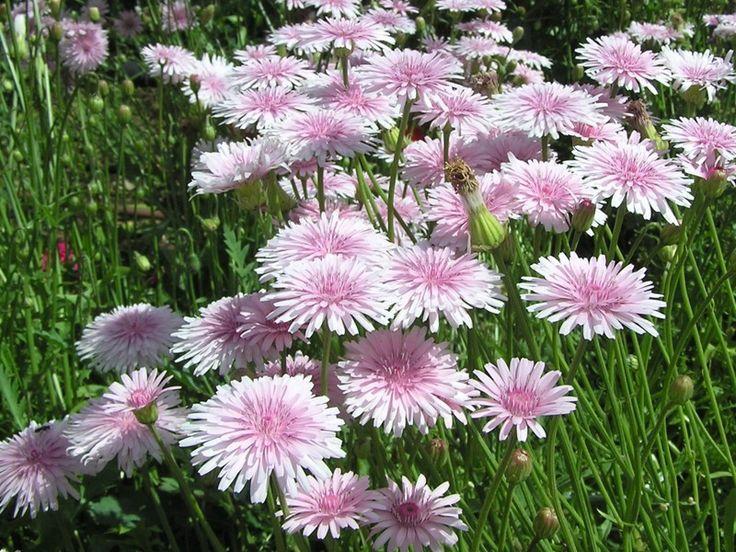 Нежно-розовый одуванчик крепис