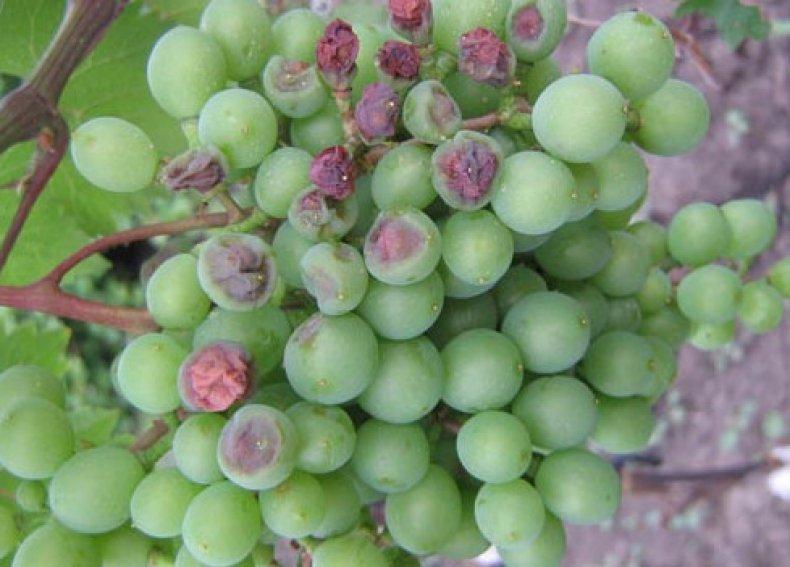 Устойчивый к порче виноград