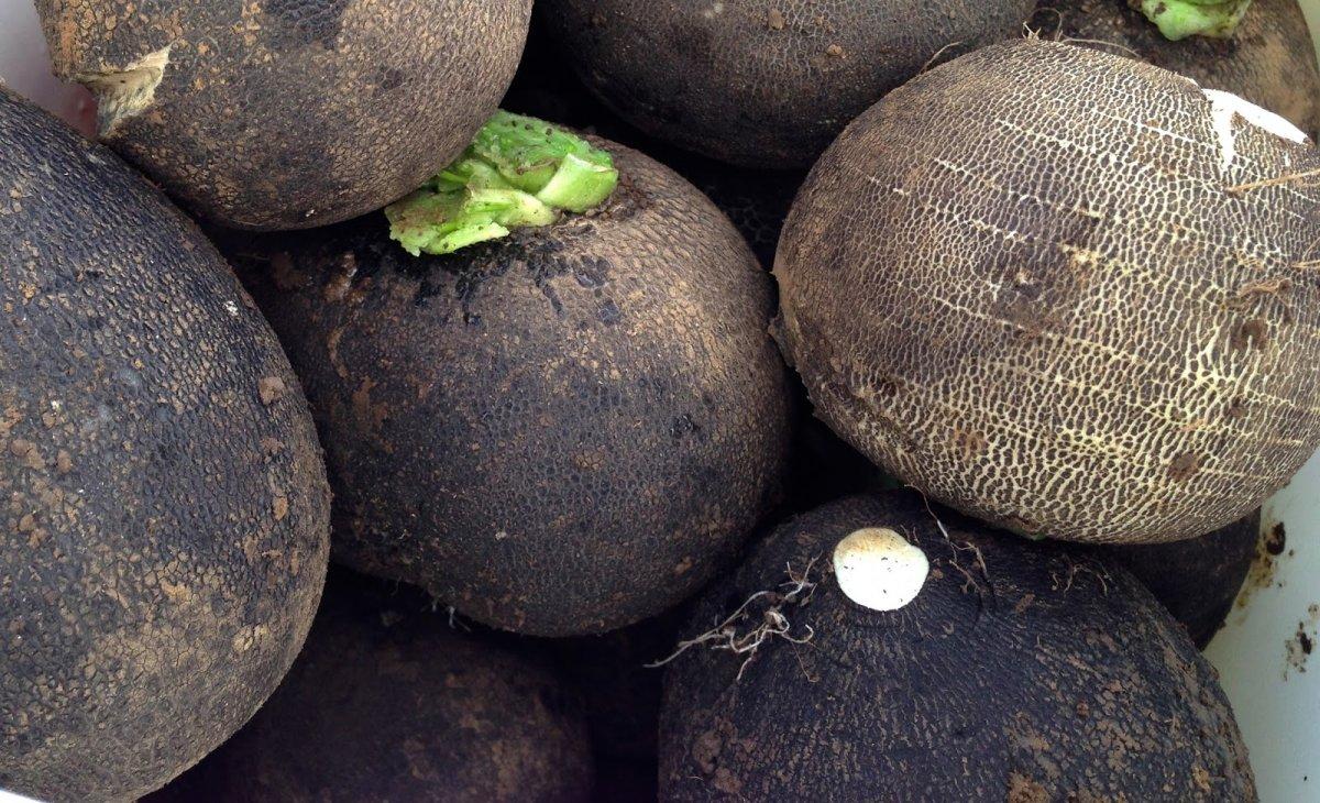 Способы хранения зеленой и черной редьки в домашних условиях и в погребе