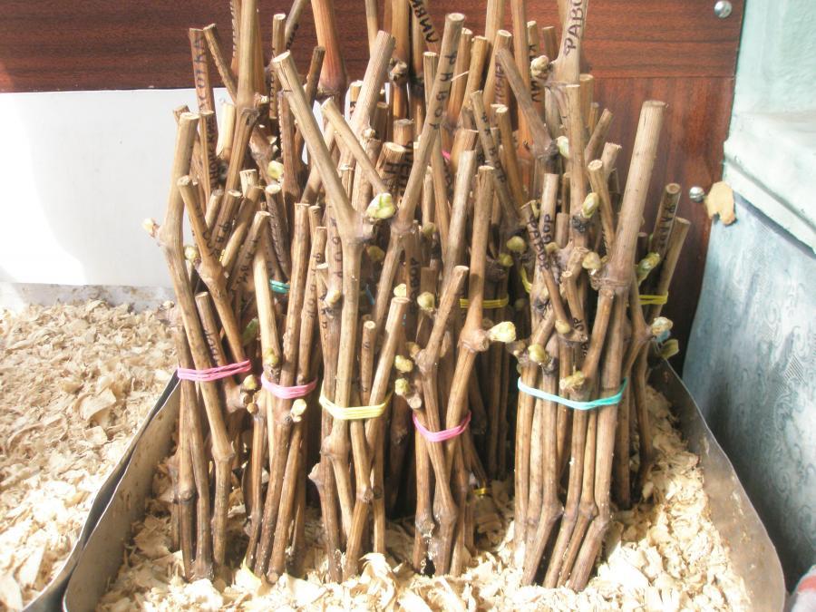 Способы хранения виноградной лозы до посадки зимой до весны