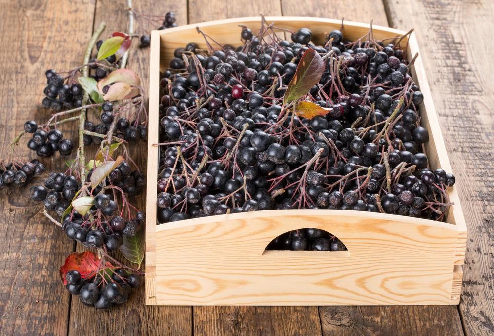 Способы хранения черноплодной рябины дома: особенности сушки, заготовки на зиму, заморозка